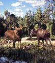 Moose Park in Sweden